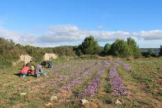 Récolte safran 2013 Saffron - Aude - Gruissan France
