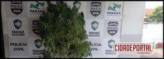 Dois acusados de cultivo da planta cannabis sativa, a maconha foram presos pelo Serviço reservado da Policia Militar de Goioerê