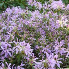 1000 id es sur le th me arbustes feuillage persistant sur pinterest arbustes feuilles - Arbuste japonais persistant ...
