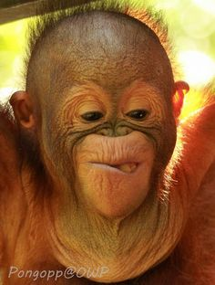 Bunyau. I love orangutans, but this is one of the least beautiful faces I have ever seen. Bless him.