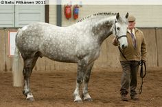 Irish Draught stallion Hillviewfarm Superstar RID