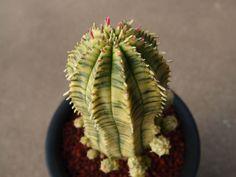 Euphorbia obesa hyb. variegata ユーフォルビア オベサ凡天錦