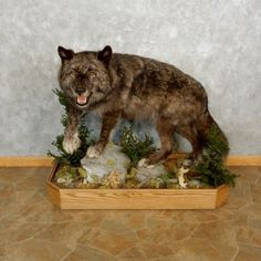 This gorgeous taxidermy mount is for sale and ready for your diorama @thetaxidermystore.com