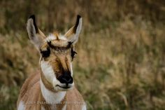 'Antelope - Untitled' from Dakota Visions Photography: Check out our gallery today.