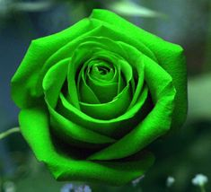 Roses #flowers learn how 2 #grow #roses http://www.growplants.org/growing/hybrid-tea-rose Buy Rare Multi-Colors Green Rose Flower Seeds