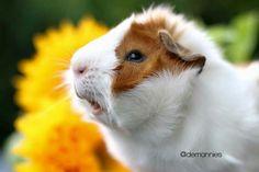 Guinea pig zone