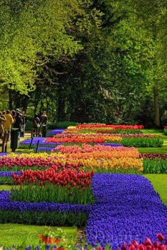 Tulips on parade