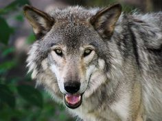 When humans decimated wolf populations, the idea was that farmers would no longer lose sheep and other livestock to the dog-like predators.   Looking at 25 years of data, a group of researchers from Washington State University found that more livestock died when wolves were getting culled. It sounds counter-intuitive, but it turns out that for each wolf killed, the chances of a sheep getting killed rises by 4 percent and the chances of cattle getting killed increases by 5 to 6 percent.