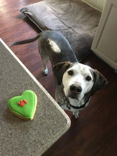 Tasty homemade vegetarian dog treats for your four-legged friend. Simple recipe is easy to make at home. Puppy Obedience Training, Basic Dog Training, Training Your Puppy, Training Dogs, Best Puppies, Best Dogs, Potato Dog, Peanut Butter Dog Treats, Positive Dog Training