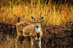 Chital deer at Jim Corbet National Park, the oldest national reserve of India #photography #canon #wildlife