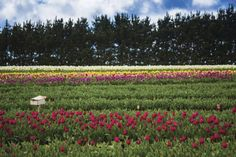 Table Cape Tulip Farm in North West Tasmania. Just one of over 40 things to do in Devonport and Tasmania's North West. Nature Photography Tips, Ocean Photography, Queensland Australia, Western Australia, Stuff To Do, Things To Do, Dawn And Dusk, Sandy Beaches, South Wales