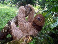 Tembel hayvan (Sloth)