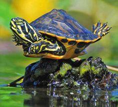 Turtle gymnastics!