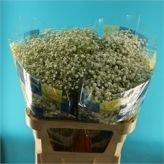 Fresh wholesale cut flowers supplied at the lowest prices. Perfect for Wholesale Flowers for Weddings. Gypsophila, Cut Flowers, Wedding Flowers, Pearl, Bead, Babies Breath, Pearls