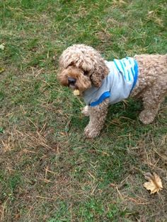 Teddy is an adorable 3 1/2 year old Cockapoo who weighs about 25 pounds. He was adopted by a family 2 years ago & now they regrettably need to rehome him. He is very smart & knows many commands (sit, paw, down, stay & rollover).Teddy needs a...