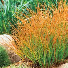 Purchase our Prairie Fire Sedge. Enjoy a range of colors with this low-growing ornamental grass. Growing with an upright habit, its foliage is various. Outdoor Plants, Outdoor Gardens, Succulents Garden, Garden Plants, Landscape Design, Garden Design, Landscape Grasses, Prairie Fire, Spring Hill Nursery