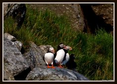 Atlantic puffins. Runde, Norway. Tone Lepsoes pictures.