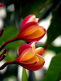 """""""Hawaiian Orchid"""""""