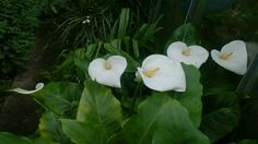 Zantedeschia aethiopica (known as calla lily and arum lily) is a species in the family Araceae, native to southern Africa in Lesotho, South Africa, and Swazi. Zantedeschia Aethiopica, House Plants, Flowers, Indoor House Plants, Foliage Plants, Houseplants, Royal Icing Flowers, Flower, Apartment Plants