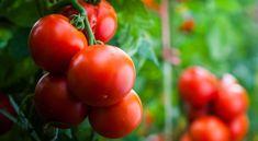 10 növény, amit érdemes a paradicsomok mellé ültetni Growing Green Beans, Growing Bell Peppers, Growing Greens, Tomato Garden, Tomato Plants, Bush Beans, Clay Soil, Neem Oil, Root Vegetables