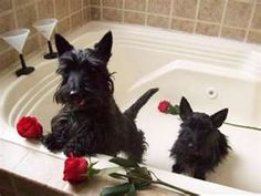 These aren't my scotties but today when I took a bath they ran in, put their noses in the water and started blowing bubbles......crazy