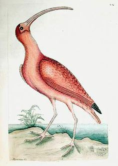 """ What We Read: Roberto Gonzalez Echeverria writes that Europe invented the Americas first through legal discourse, then through natural history. Among many exciting features of the. Vintage Bird Illustration, Illustration Art, Illustrations, Vintage Birds, Botanical Prints, Natural History, Bird Feathers, Drawings, Artist"