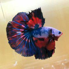 Halfmoon fancy Pretty Fish, Cool Fish, Beautiful Fish, Animals Beautiful, Creepy Animals, Animals And Pets, Cute Animals, Colorful Fish, Tropical Fish