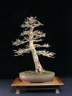 3 X Pre Bonsai trees Picea, Fagus, Acer bare roots best offer Planted Aquarium, Silver Fir, Pre Bonsai, Chestnut Horse, Roots, Flowers, Plants, Times, Casual
