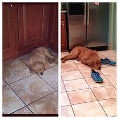 My Golden Retriever nap time