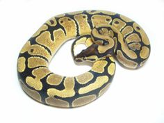 Co-Dominant Ball Python Morphs - A 2 Z Reptiles - Look at some snakes! Ball Python Morphs, Disco Ball, Reptiles, Snakes, A Snake, Snake, Mirror Ball