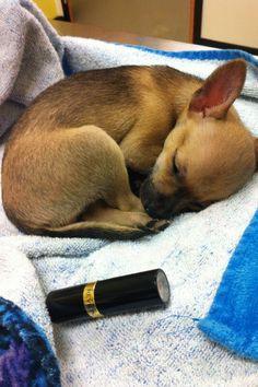 It's a baby ☆ Twinkles ☆! ☆ Twinkles ☆ the deer head Chihuahua.