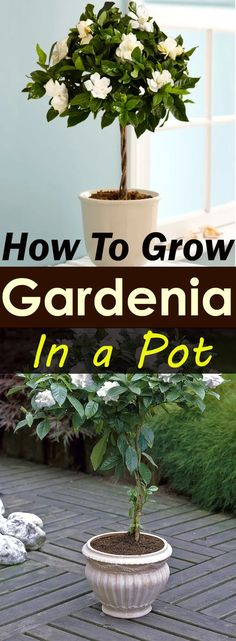 Growing Gardenia in Pot Growing gardenias in pots require some care and attention but they worth that as gardenias are famous for their heady fragrance and beautiful appearance. Gardenia in Pot Growing gardenias in pots require some care and attention but Gardenia Care, Gardenia Bush, Outdoor Plants, Garden Plants, Shade Garden, Garden Web, Plants In Pots, Potted Trees Patio, Garden Design