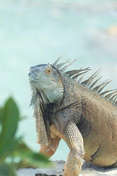 Endemic To Grand Cayman This Magnificently Striking Blue Iguana Is One Of The Most Endangered