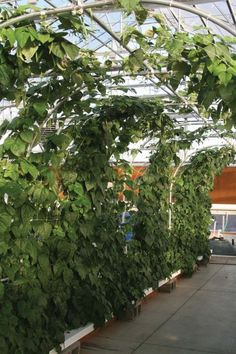 Hydroponic bean trellis. Absolutely genius