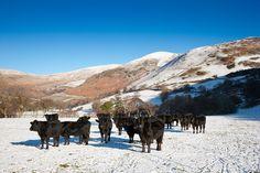Vaches highland dans les montagnes en hiver © Visit Wales 2013 2013, Camel, Nature, Animals, Mountains, Vacation, Winter, Naturaleza, Animales