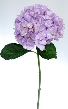 Hydrangea Tinted Lavender Bulk Fresh Flowers
