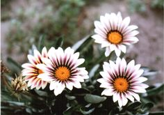 Osteospermum Ecklonis (African Daisy) by flclharu African Daisy - Google Search