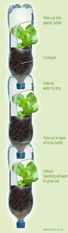 Lettuce in a bottle