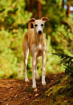 Whippet dog art portraits, photographs, information and just plain fun. Also see how artist Kline draws his dog art from only words at drawDOGS.com He also can add your dog's name into the lithograph.