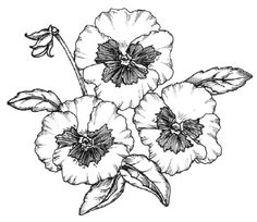 To draw a pansy, examine the illustration of a pansy before proceeding to step 1.