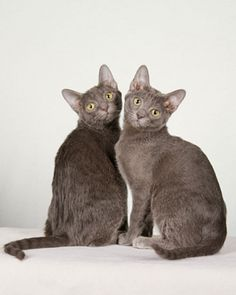 Good Luck Cats that are great for families - The Korat! My Mia is a Korat & I love this breed! photo by Chanan Photography - Richard Katris on Martha Stewart I Love Cats, Cool Cats, Korat Cat, All Cat Breeds, Purebred Cats, Exotic Cats, Cat Photography, Grey Cats, Domestic Cat