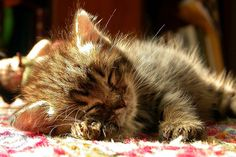 """""""Kittens--little miracles that they are--are endowed with all the natural gifts to make them perfect pets."""" --Barbara L Diamond"""