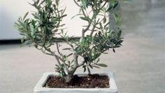 Tailler un olivier: les bons conseils