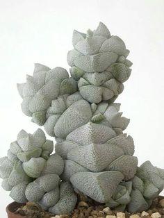 Succulent Plant Information: Crassula deceptor