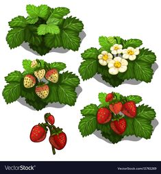 Planting and Cultivation of Strawberry. Vector by Lunkov_Anton Planting and cultivation of strawberry. Vector illustration of berry growth stages on a white background Strawberry Garden, Strawberry Plants, Garden Illustration, Creative Illustration, Acrylic Painting For Kids, Rock Painting, Flavor Ice, Farm Art, Game Concept Art
