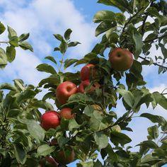 Apple tree!!!