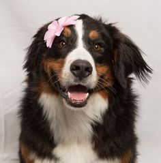 VOTE for Mattie . . . . . . by January 31st for the Kimpton hotel dog contest.  no registration required.  click on VIST button  Mattie as pretty as a berner can be!