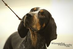 Nothing like a coonhound ! All Dogs, Dogs And Puppies, Doggies, Bluetick Coonhound, Bloodhound, Blue Dog, Beagle Dog, Hound Dog, Hunting Dogs