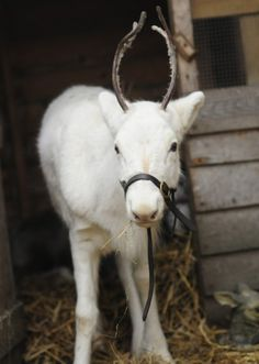 White Baby Reindeer (he's almost ready for Santa)