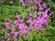fiori di trifoglio